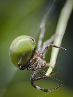 'Spinning in Circles' by Gonzalo Acuña (Montevideo, Uraguay). A green spider (Araniella cucurbitina) spins its web between two trees. via Smithsonian Magazine.