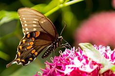 Butterfly days at Obrich Gardens in Madison Wisconsin shows many of the beautiful insects on the various flowers or plants.