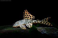 Tropical Freshwater Fish, Freshwater Aquarium Fish, Tropical Fish, Betta Tank, Fish Tank, Pleco Fish, Plecostomus, Fish List, Fish Breeding