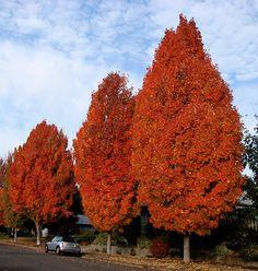Columnar Maple Tree - Beautiful