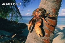 The coconut crab is the world's largest terrestrial arthropod, growing up to one metre across. The coconut crab's claws are powerful enough to crack open coconuts, and can be used to lift weights of up to 28 kg. If coconuts are not readily available on the ground, the coconut crab can climb trees and cut them down. Although the adult coconut crab lives on land and can drown in water, its larvae develop in the sea for the first month or so of their lives.