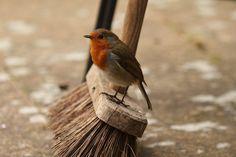 "pagewoman: "" Little Helper "" Beautiful Robin Robin Redbreast, Love The Earth, Robin Bird, English Countryside, Disney Films, Little Birds, Bird Feathers, Beautiful Birds, The Little Mermaid"