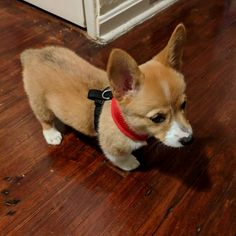 This harness makes me look ridiculous....                 Credit to : @little.corgi.margo DoubleTap & Tag a Friend Below⤵ Follow us if you love Corgi  ❣  Update videos everyday ❤ ------------------------------------------------