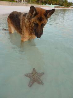 German Shepherd watching a starfish :)