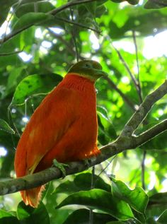 img_3607-orange-dove.gif (777×1044)