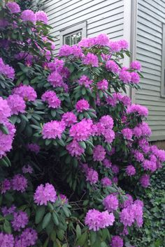 rhododendron- just purchased 4 of these at a nursery plant sale. I have no idea of the color, but I'll love whatever color they turn out to be.