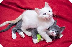 Chicago, IL - Siamese. Meet Lou & Reed a Kitten for Adoption.