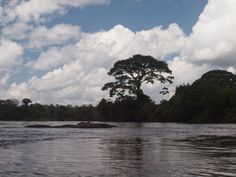 Kankantrie boom.. » 21-08-2012, Suriname de Suriname bovenrivier » RenePaulien.reismee.nl » Fotoseries