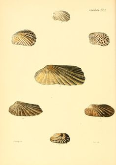 v. 1 (1843) - Conchologia iconica, or, Illustrations of the shells of molluscous animals / - Biodiversity Heritage Library