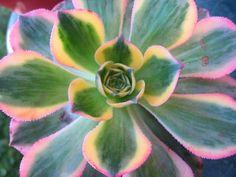 Aeonium 'Compton Carousel' Variegated Succulent Plant - Rare Color