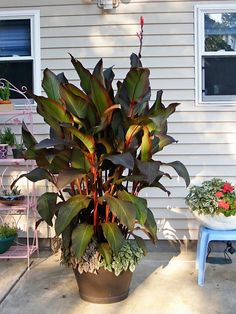 CANNA LILLY-these are like the ones I grow.