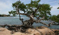 Buttonwood Tree at Treasure Beach