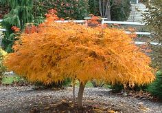 "Dwarf Weeping Japanese Maple | The above photo is a ""Waterfall Japanese Maple"" in the fall just ..."