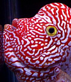 hands down the coolest flowerhorn I've ever seen. I like the ...450 x 521 | 59.8 KB | www.monsterfishkeepers.com