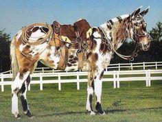 Very unique appaloosa mule!