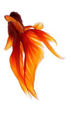 Japanese goldfish: Photo by Osamu Yamazaki