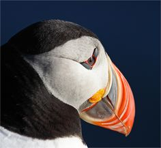 Puffin :: http://www.flickr.com/groups/visipix/pool/40312248@N05