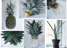 Je huis inrichten met planten hoeft niet veel te kosten, deze ananasplant kweek je bijvoorbeeld lekker zelf. Hoe je de DIY ananasplant maakt lees je hier.