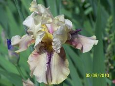Photo of Tall Bearded Iris (Iris 'Thornbird') uploaded by Misawa77