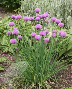 Crocus.co.uk - Allium schoenoprasum (Chives). Full sun/Part-Shade. 60cm tall, flowers July-Aug. Spreading plant. Good for bees.
