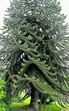 Monkey Puzzle Tree, Bergen, Norway ~ Oh My! I never seen this tree before! Trees And Shrubs, Trees To Plant, Bonsai, Monkey Puzzle Tree, Weird Trees, Unique Trees, Old Trees, Nature Tree, Tree Forest
