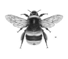 libutron:  Bombus terrestris | ©C. Nahaboo  Buff Tailed Bumblebee. Contemporary drawing - Graphite and charcoal on blotting paper (A2).