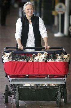 New Zealand dog owner Robyn Crook takes her 18 Chihuahua-cross dogs for a stroll in a triplets baby buggy ... this will be me someday haha