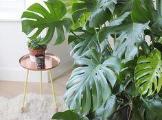 Je vous propose aujourd'hui de continuer l'exploration de mes plantes vertesadorées; après vous avoir présenté mes tillandsias il y a quelques semaines, voici la reine de mon salon, une monstera deliciosa ! Pour une amatrice de plantes exotiques et de «jungles intérieures» comme moi, la monstera est un must: son look très particulier lui vautLire la suite…