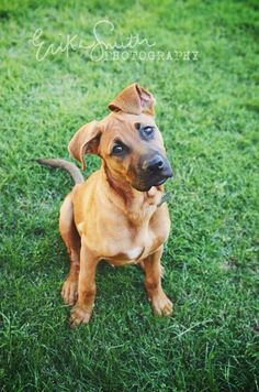 Boxer/German Shepard