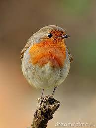 Image result for robin bird