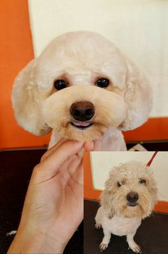 I want Onyx head and ears trimmed like this.not the snout though Dog Grooming Styles, Dog Grooming Salons, Dog Grooming Tips, Poodle Grooming, Silly Dogs, Cute Dogs, Japanese Dogs, Japanese Dog Grooming, Poodle Haircut