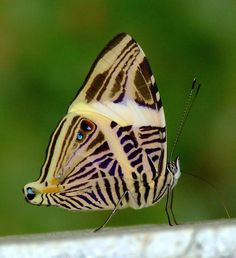 The Dirce Beauty butterfly (Colobura dirce)