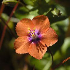 biljka vidac vidova trava vidovcica Biljka vidac je rod jednogodisnjih zeljastih biljaka iz porodice jagorcevina(Primulaceae) i naziv za najrasireniju vrstu na prostorima Balkana,Analgallis arvensis.Naziv koji koriste farmaceuti joj je Angallidis herba. Vidova trava je 10-30 cm visoka jednogodisnja b