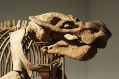 Aulacephalodon peavoti, Permian dicynodont from the Karoo, South Africa, at the Field Museum, Chicago, IL | Flickr - Photo Sharing!