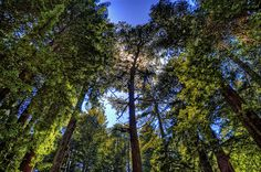 """The breath-taking historical """"Heritage Trees"""" in San Mateo are extremely valuable to the community and is under city & county protection/conservation. Take A Breath, Conservation, Trees, Community, Clouds, Explore, Space, City, Plants"""