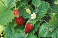 Growing Strawberries in Containers - Photo: Zara Napier / Getty Images