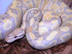 Lavender Albino Python Female - $20,000