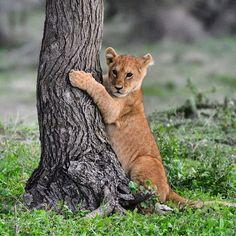 "Photo ""Newgeneration@Ndutu@Serengeti#natgeo#nature#lions#lioncubs#bigcats#"" by samanthavaneldik"