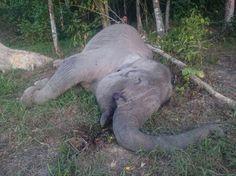 """Trabajaba con los cuidadores de un parque en Indonesia; se calcula que solo quedan 3.000 ejemplares en libertad.  Yongki, de unos 35 años de edad, era muy apreciado entre los """"mahouts"""", los cuidadores de elefantes, muy afectados por su muerte. """"Estamos en duelo por la muerte de un elefante que nos ayudaba a resolver conflictos y ayudaba a los guardabosques a proteger el bosque"""", dijo Nazaruddin, uno de los cuidadores."""