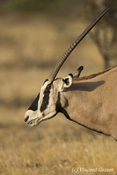 african oryx - Google Search