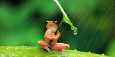 A tree frog uses leaf as an umbrella