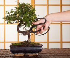 this bonsai is a flowering begonia i also really love jacaranda bonsai camellias and other. Black Bedroom Furniture Sets. Home Design Ideas