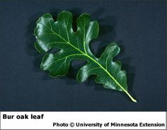 bur oak leaf Arbour Day, Reference Images, Compass, Plant Leaves, Tattoo Ideas, Trees, Sleeve, Plants, Manga