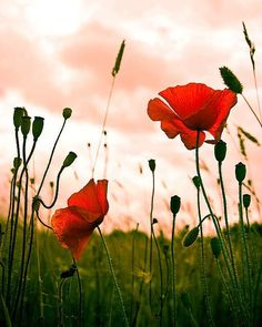 Poppies against a pink sky.
