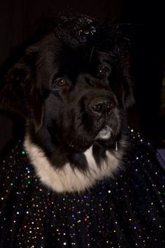 Notta Bear Newfoundlands Friday is quite the lady in her fancy halloween dog costume Newfoundland dog Newfie puppy Landseer Giant Dogs, Big Dogs, I Love Dogs, Cute Dogs, Dog Photos, Dog Pictures, Cute Dog Halloween Costumes, Newfoundland Dogs, Animal Costumes