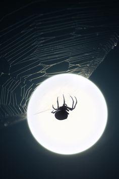 Spinning moonbeams. (Spider and full moon)