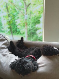 """Joy Green is worn out after a long day of relaxing. Poodle love!"""