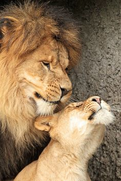 Ceasar en Ti Cuna Artis - By: (joke kok) Big Cats, Cats And Kittens, Cute Cats, Lion Couple, The Lion Sleeps Tonight, Lion And Lioness, Lion Love, Animal Art Projects, Lion Pictures