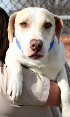Chesapeake bay retriever and pitbull mix cutenessoverload