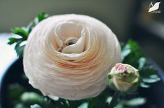 Ranunculus  Always a favorite